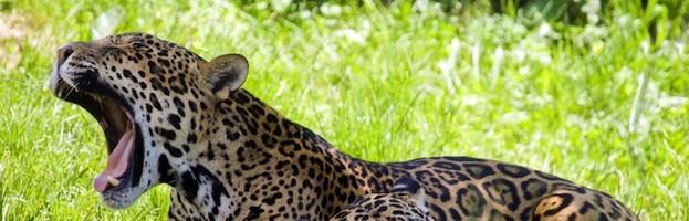 Jaguar Videos